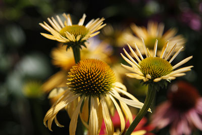Yellow Flowers @ Hampton Court Flower Show