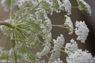 White Flowers @ Hampton Court Flower Show